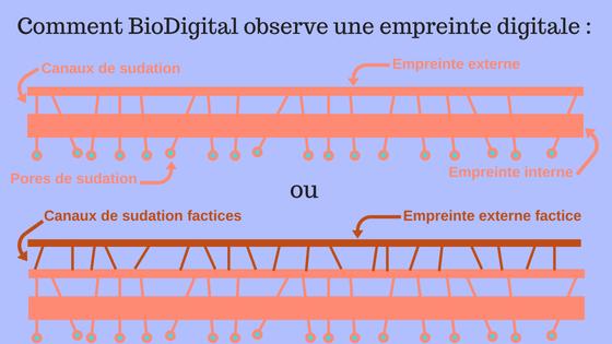 L'anatomie du derme du doigt que peut voir BioDigital.